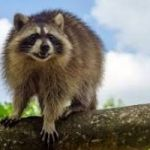 Best Effective Raccoons Removal Service NYC (New York City)